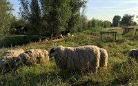 De Westlandse kudde graast in de omgeving